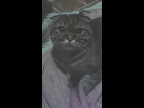 Тяжелое дыхание у кота. Причины, первая помощь, советы, назначения ветеринаров