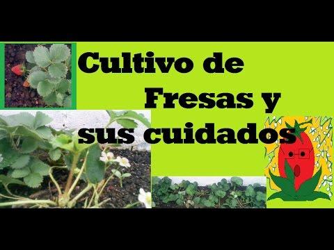 Cultivo de fresas y sus cuidados / Datos generales de plantación / Ayuda con tu huerto