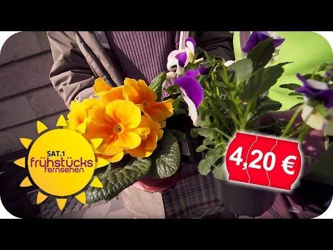 TEUER vs. BILLIG: Blumen zum Einpflanzen im Test! | SAT.1 Frühstücksfernsehen | TV