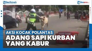 Viral Video Aksi Kocak Polantas Adang Sapi Kurban yang Kabur ke Jalan Raya di Bukittinggi