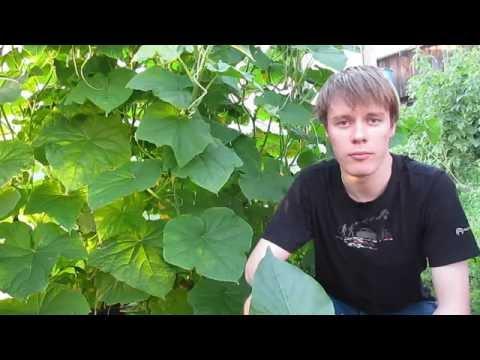 Огурцы на гидропонике, Урожай. 1.5 (cucumbers hydroponically)