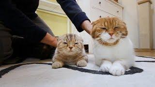 고양이에게 마사지 했을때 반응은? Cat Massage 猫にマッサージをしたときの反応 [SURI&NOEL]