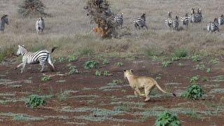 Lion Hunt At Lewa! Zebra Ambush
