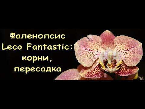 ОРХИДЕЯ phal.LECO FANTASTIC:корни,ПЕРЕСАДКА.Привет Караман Владиславу!