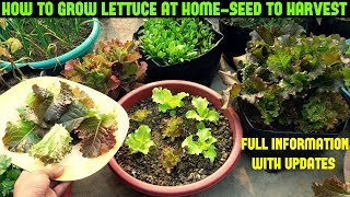 How To Grow Lettuce From Seed-Full Information With Updates