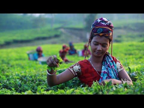 মৌলভীবাজারের ৭০ ভাগ প্রাকৃতিক সৌন্দর্য ধারণ করে আছে চা বাগান | ETV News