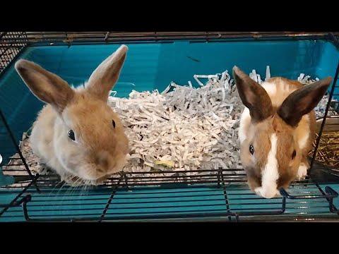 , title : 'rabbits-may tampuhan ata cla #pets #rabbit #animals (eam's videography)
