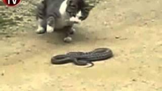 Çılgın kedinin yılan avı!   Diğer   Haber, Video   Milliyet com tr İnternet TV
