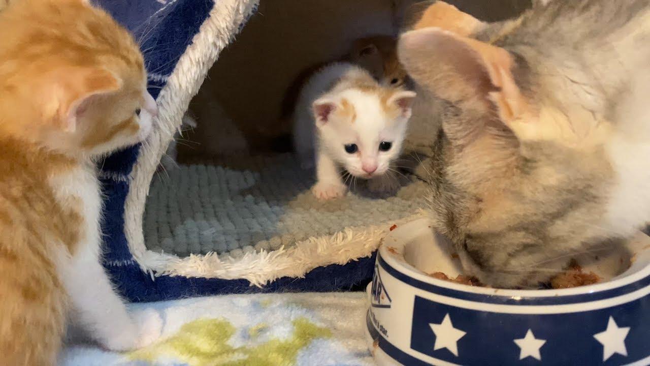 猫の子育て#20生後4週間の子猫に初めて離乳食(カルカン)あげたらこうなります
