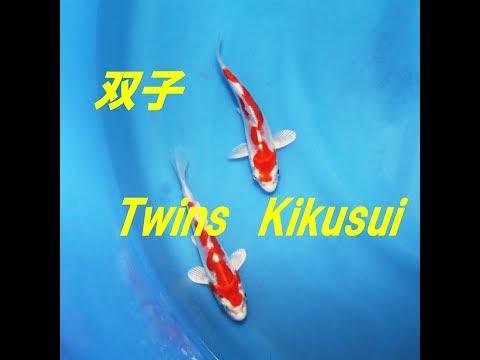 錦鯉/ Twins Kikusui /仙助 双子の菊水