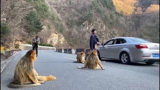 Złote małpy blokują drogę w poszukiwaniu jedzenia w północno-zachodnich Chinach