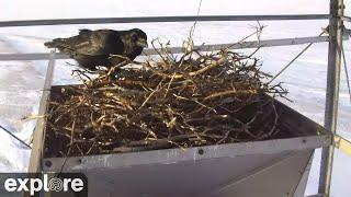 Raven Nest Cam - Churchill, Wapusk National Park powered by EXPLORE.org