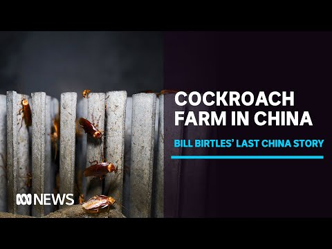 Billions of Cockroaches Grown in a Chinese Farm