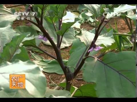 20140129 农广天地 大棚茄子花果期管理