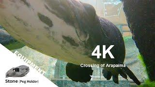 4K 優雅に泳ぐ巨大なピラルクー 【アニマルFPV】