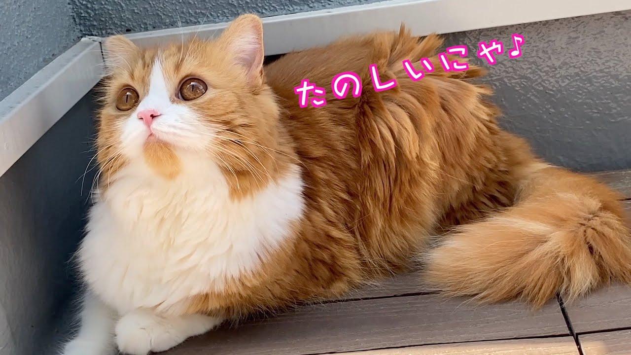 ぽかぽかのベランダが楽しくて居座っちゃう猫【スコティッシュフォールド・短足マンチカン】