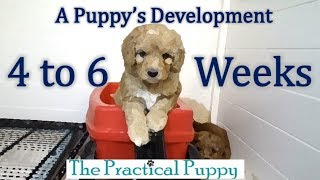 Watching Puppy Grow from 4 to 6 Weeks