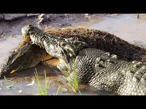 Crocodilo ataque Crocodilo, comem um ao outro - Animais Selvagens, Leopardo, Um Leão