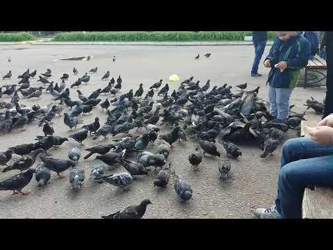 Море голубей