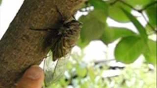 セミが飛ぶ虫嫌いの方は見ないほうが良いかも・・・