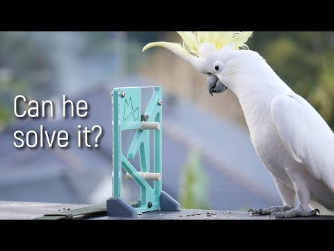 Just How Clever Are Wild Parrots?