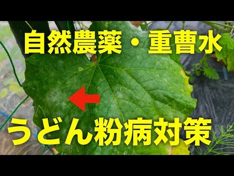 , title : '自然農薬の重曹水でうどんこ病対策!野菜の無農薬栽培