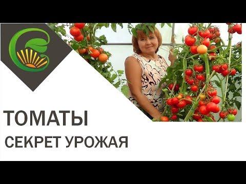 Pomidorų hipertenzija