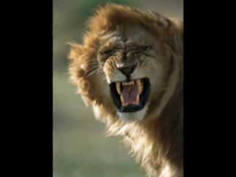 Dave Salmoni says that a lion would win