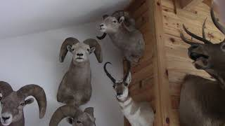 How to judge a Rocky Mountain Bighorn Ram with Mile High Outfitters.
