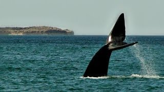 preview picture of video 'Ballenas de Puerto Madryn. El Doradillo.Sublimes momentos. SubSur'