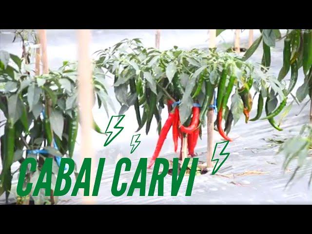 Cabai Carvi Agrihorti – Vlog!