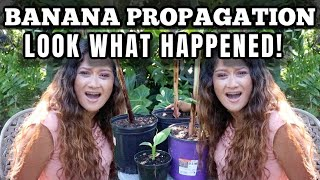 Results After 2 Weeks! Banana Plant Propagation & Division Update, Cloning