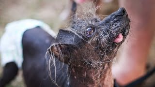 Looking Ruff: World's Ugliest Dog Contest