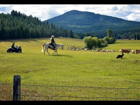 Bigfoot Kills Ranchers Cattle In Washington State - Where's The Beef?