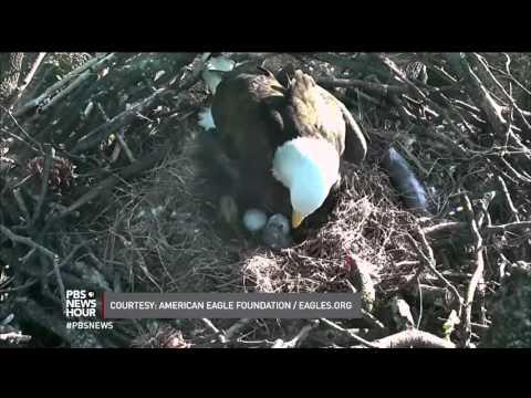 The stork brings an eaglet: Bald eagle hatches at National Arboretum