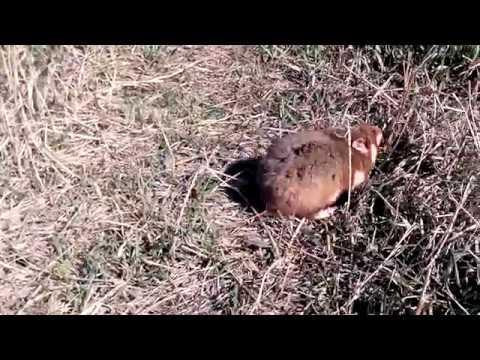 Обыкновенный дикий хомяк: описание, ареал