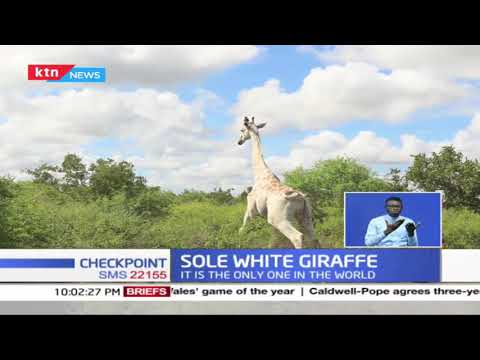 Sole white Giraffe: Experts fix GPS device on the animal  to monitor its movements