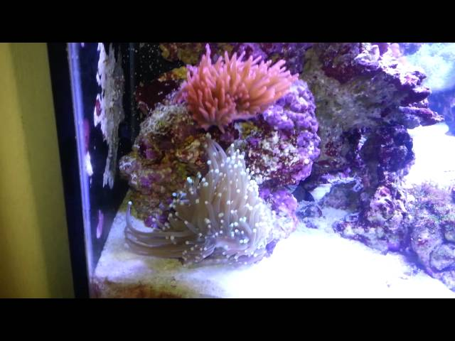 Anemone is on the move.  Wild saltwater REEF tank.