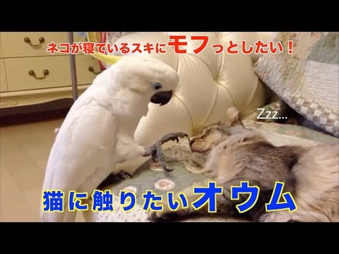 Parrot wants to touch a cat