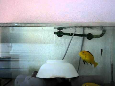 ラビドクロミス・カエルレウス(Labidochromis caeruleus)