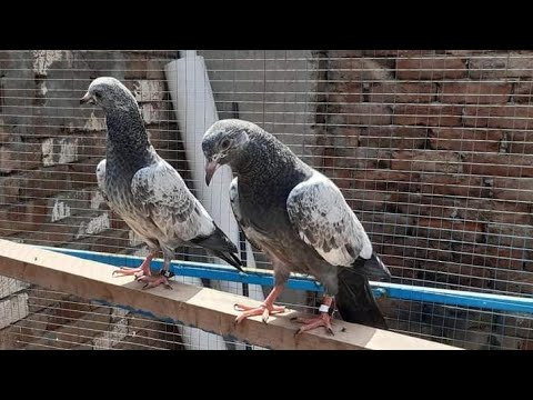 , title : '0318 3003294  10 baby Pigeonshigh flying pigeons  2021