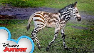 Baby Zebras!🦓 | Disney Animals Special Delivery with T.O.T.S. | Disney Junior
