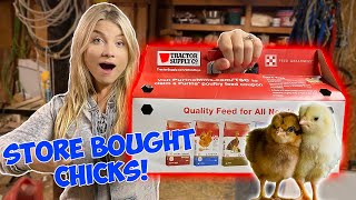 I Bought CHICKS From the Feed Store! NEW PETS *Cute Baby Animals*