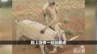 澳大利亚一只袋鼠把母猪艹了