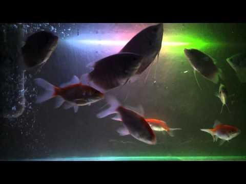 Video Memelihara ikan gurame di aquarium