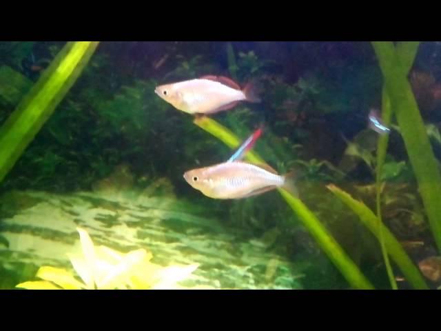 acuario comunitario escalares,tiburon bala,coridoras,pez acoiris,tanichis