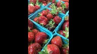 It's strawberry u-pick season!
