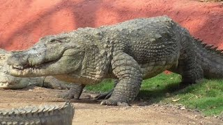 Biggest Crocodile In History !