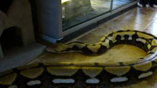 Huge Tiger Reticulated Python