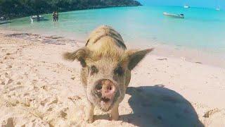Model Gets Bitten by Pig in Bahamas